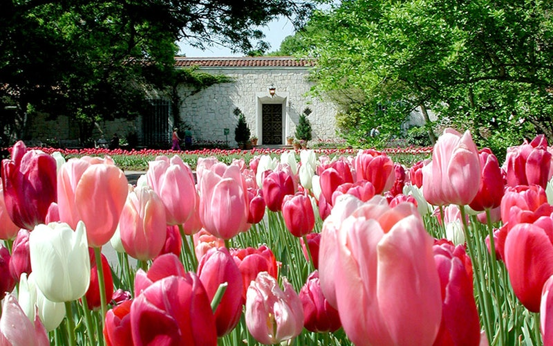 Tulips blooming at the DeGolyer Estate entry at the Dallas Arboretum. Photo via Dallas Arboretum.